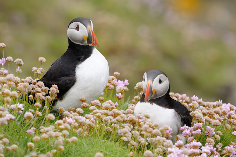 Two Atlantic Puffins together in pink thrift