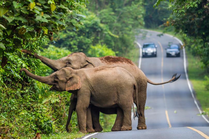 Wild elephant in Khaoyai National Park, Thailand