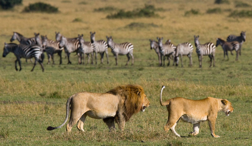 Places Where Lions Live in the Wild