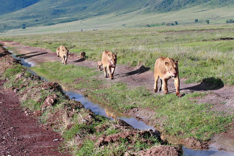 Tanzania Lions