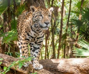 Where do Jaguars Live?