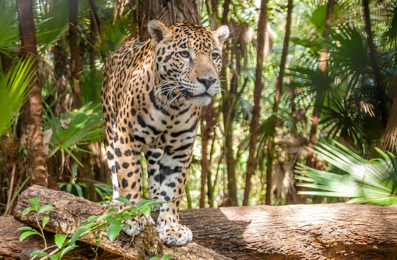 Where do Jaguars Live?