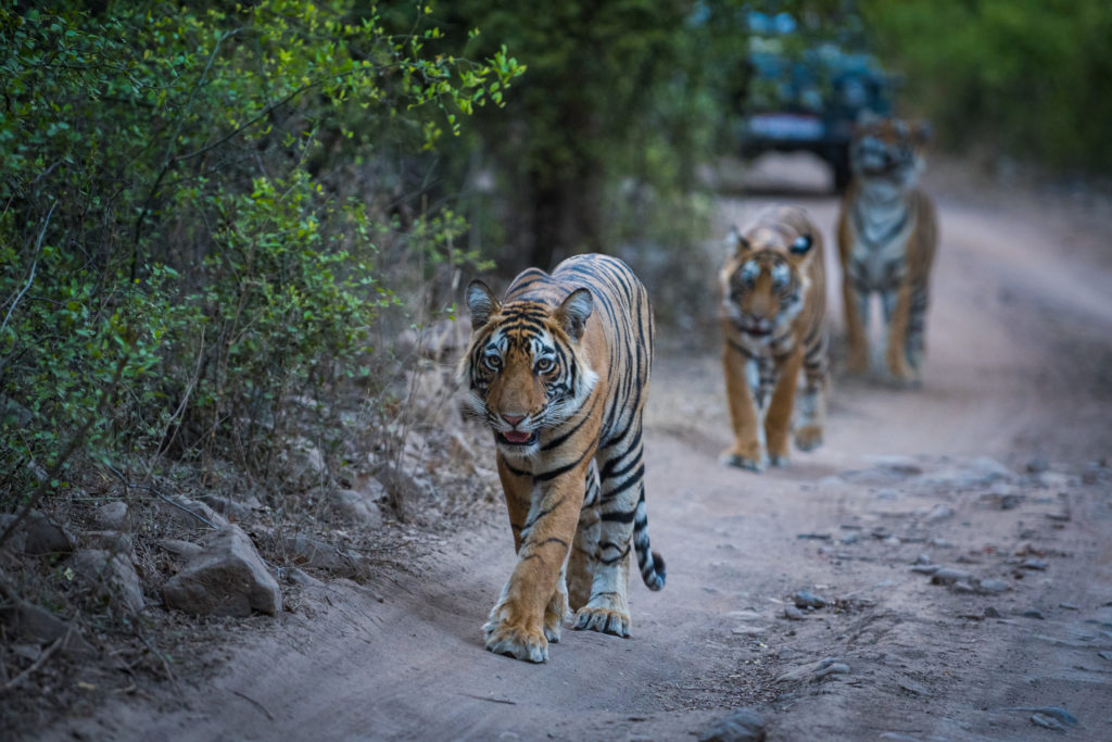 Bengal tigers on an evening stroll on a jungle track in a pattern