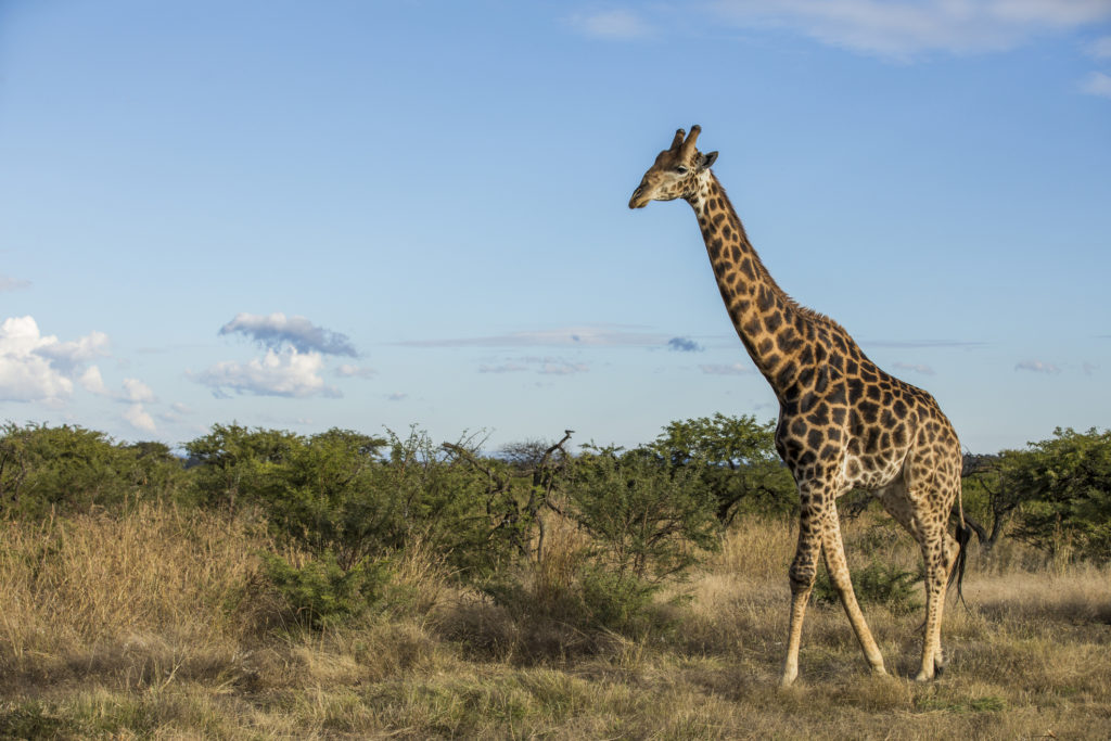 Giraffe in wild in Kruger South Africa