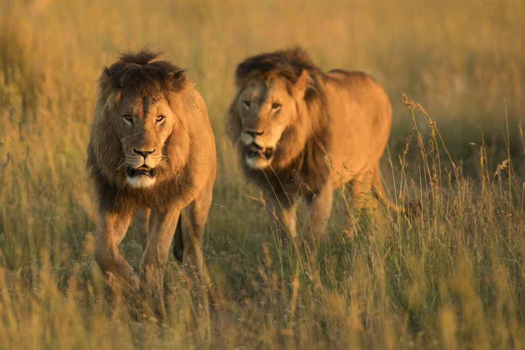 Lion in wild in Kruger South Africa