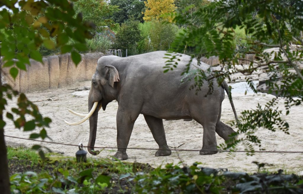 The Asian elephant at the zoo.