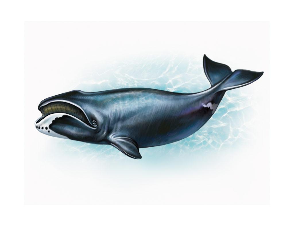 The bowhead whale Balaena mysticetus