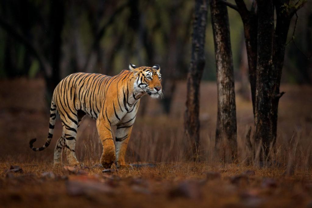 Indian tiger, wild animal in the nature habitat, Ranthambore NP, India. Big cat, endangered animal. End of dry season, beginning