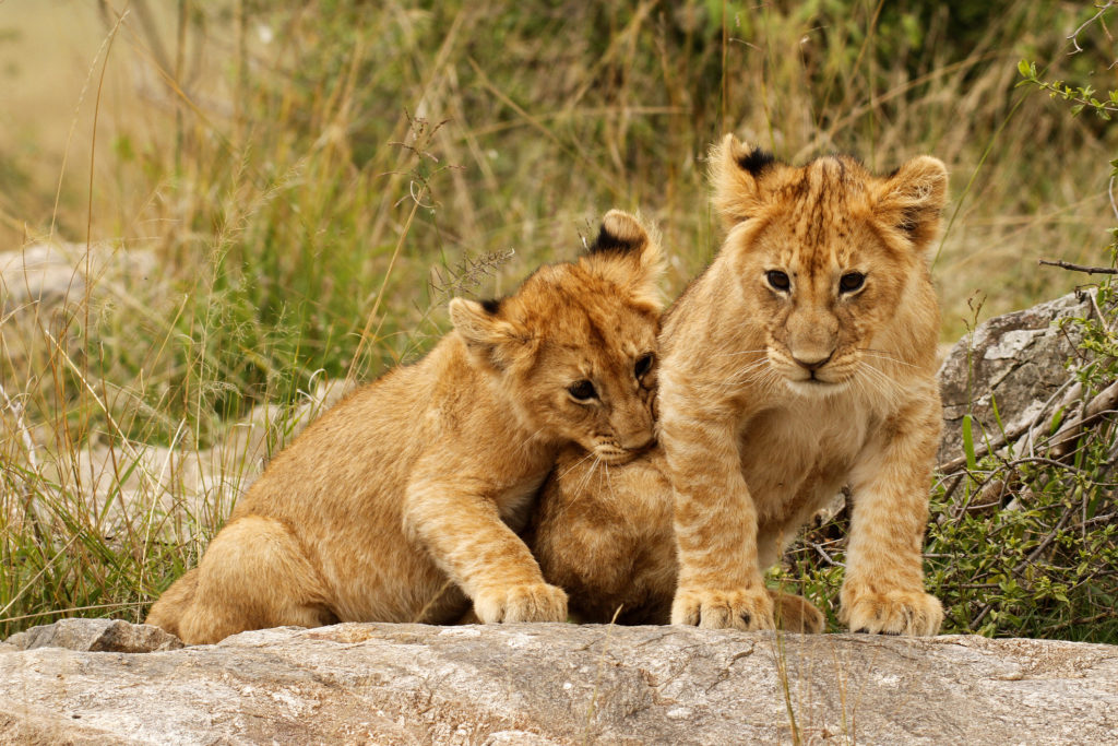Young lion cubs
