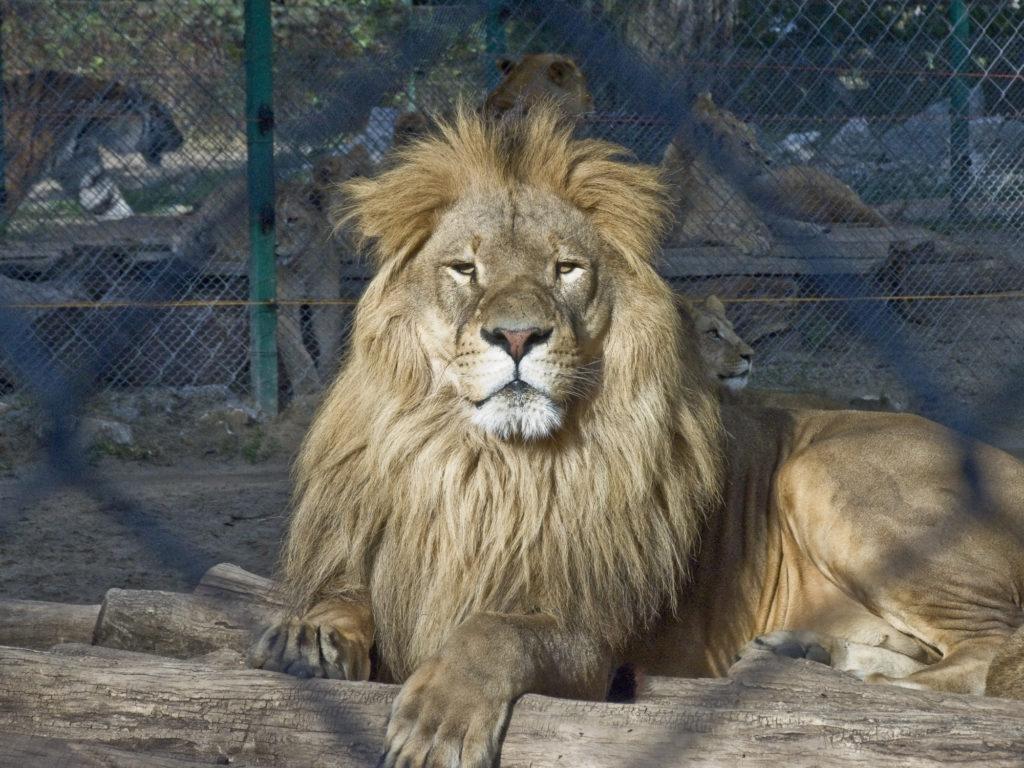 Proud lion in Zoo