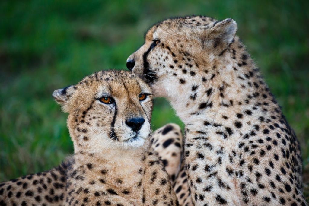 Cheetah Wild Cat Pair