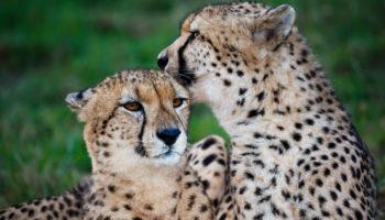 How Long do Cheetahs Live?