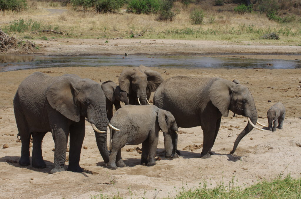 A family of African elephant