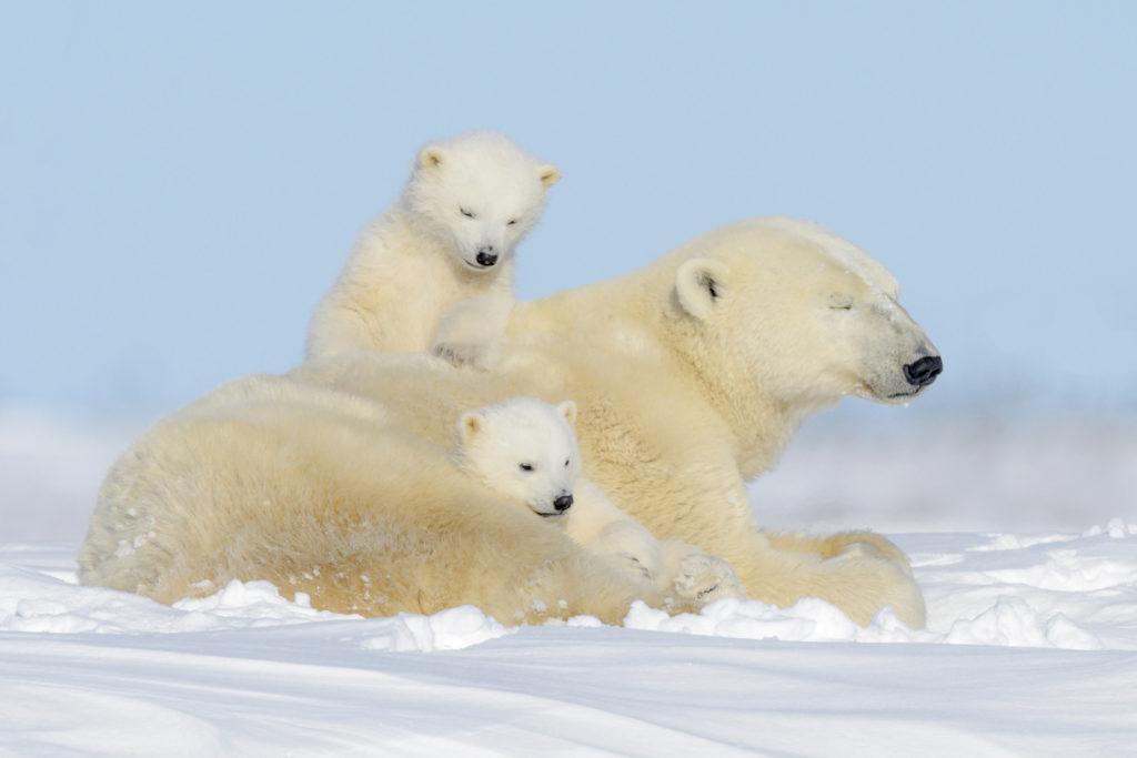 Polar bear (Ursus maritimus) with cubs