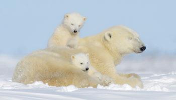 How Long Do Polar Bears Live?