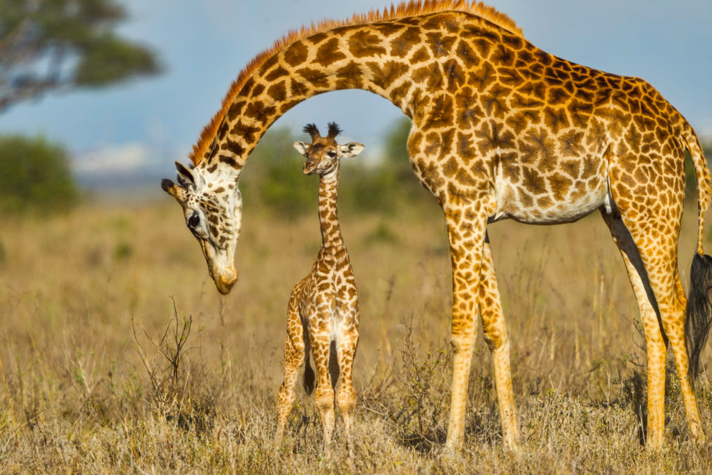 Mother Masai Giraffe Protecting Baby