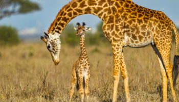How Long do Giraffes Live?
