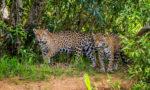 How Long do Jaguars Live?