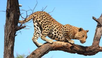 How Long do Leopards Live?