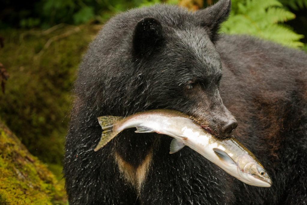Black Bear eating