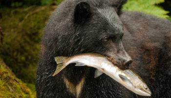 What do black bears eat?