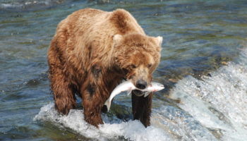 What do Brown Bears Eat?