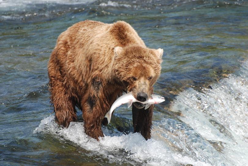 Brown Bear eating Fish