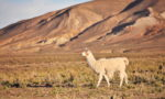 How long do Llamas live?